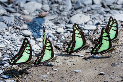 6 Butterflies  (Sharleen Chao) Tags: 6 macro nature canon butterfly spring bokeh taiwan 100mm taipei six  nationalgeographic    glassybluebottle  macromonday  graphiumcloanthuskuge canoneos5dmarkiii