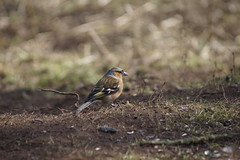 Male Chaffinch (Rovers number 9) Tags: uk england march moss spring minolta bokeh sony lancashire leighton a65 2013 rspbleightonmoss march2013 bkhq minoltabokeh sonya65