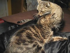 Beck, grooming Paul (Hairlover) Tags: old pet cats pets cat kitten tabby kitty kittens kitties kittys oldcat multiplecats threeleggedcat agedcat catvideo 24yearoldcat catcatskittykitties