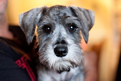schnauzer (photoshare71) Tags: old 3 up puppy pepper photography close cut salt schnauzer grooming months groomed aperature