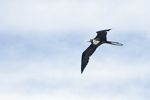 Magnificent Frigatebird (Fregata magnificens) - Punta Mita, Nayarit, Mexico - March 20, 2013