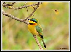 LITTLE BEE-EATER (Melittophagus pusillus).....NAIROBI NAT PARK....OCT 2012 (M Z Malik) Tags: africa nikon kenya wildlife ngc safari nairobinatpark d3x exoticafricanbirds exoticafricanwildlife 200400mm14afs