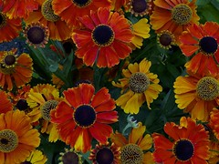Beauty in Nature (defblow) Tags: flowers beauty beautiful nature bbcsummerwatch colorful vivid outdoor variation brightness summerwatch