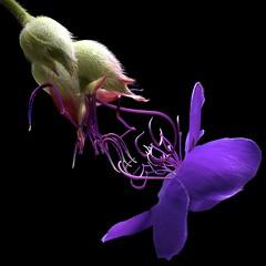 Princess Flowers (Pixel Fusion) Tags: princess flower flora nature macro nikon d600