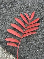 on the pavement (Hayashina) Tags: leaf london pavement red