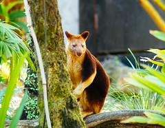 Tree kangaroo (VirtualWolf) Tags: animal australia bokeh canonef135mmf2lusm canoneos7d equipment marsupial mosman newsouthwales places sydney tarongazoo techniques treekangaroo wildlife