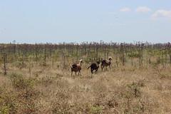 Thorny Run (cartographerofdreams) Tags: thorny run goat goats island gokceada gkeada turkey trkiye bush spike thorn