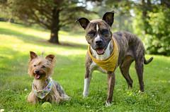 Misa & Greta (syzygial) Tags: dsc1363 misa greta americanpitbullterrier pitbull boxermix boxer rescuedog pibble australiansilkyterrier yorkie yorkshireterrier chester novascotia