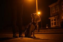 Day 41   Night Walks (colley.rebecca) Tags: night dog cute dogs streetlight