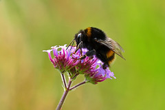 Verbena Bee (AndyorDij) Tags: bombusterrestris bumblebee bee insects insect verbenab empingham england rutland uk unitedkingdom 2016 summer