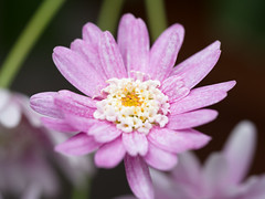 Purplish pink flower