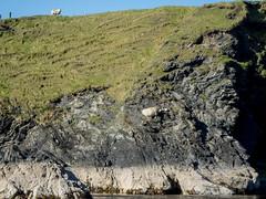 Amazing where sheep will take their lambs! (Nanooki ) Tags: scottishisles fetlar shetlandislands unitedkingdom gb