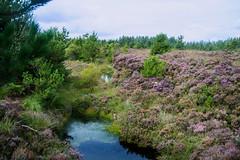 Remnant of Glenone Bog  [Explore] (Philip McErlean) Tags: bog peat peatlands pond pool heather forest clady portglenone glenone northern ireland