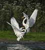 Beginning of Battle To The Death... (Vidterry) Tags: egrets greategrets cedarlake territoriality