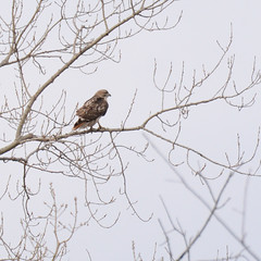 Red Tailed Hawk - Green County, WI (turn off your computer and go outside) Tags: 2016 albanywildlifearea birdsofminnesotaandwisconsin greencounty march redtailedhawk wi wisconsin barebranches baretrees bird birdofbrey clearday coldday critter earlyspring firstdayofspring hawk identified nature outdoors page98 pearchedintree spring