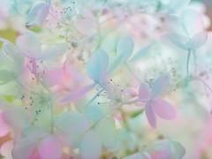 hydrangea (olli_loo) Tags: bokehlicious bokeh smoothness tenderness tinyflowers blossom light summer flowermagic flowersart flowers nature softcolors colorpastel pastel 135mm promura135 promura softlens softfocus manuallens manualfocus manual hydrangea macroflowerlovers