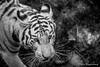 Tigre, zoo de Cerza (Pierre Fauquemberg) Tags: pierrefauquemberg parc zoo parczoologique cerza photographieanimalière nikond750 tamron7020028 tamron70200f28 tamron filtre hoya polarisant hermivallesvaux paysdauge animaux animal animalier faune tigre tigreblanc fauve noiretblanc blackandwhite blackandwhitephotography monochrome félin