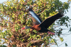Black-Bellied Whistling Duck (Bill McBride Photography) Tags: dendrocygnaautumnalis bif bird duck fly flight flying blackbellied whistling ritchgrissommemorial wetlands viera nature wildlife melbourne fl florida summer august 2016 canon eos 70d ef100400l