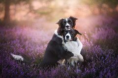 Love and friendship  (Alicja Zmysowska) Tags: dog dogs friend friends friendship love pet pets cute sweet hug hugging border collie bordercollie dogtrick dogtricks trick tricks sunrise sunset goldenhour poland goldenlight