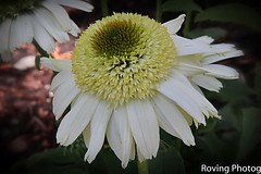 White Echinacea (robtm2010) Tags: plainville massachusetts usa newengland flower plant echinacea whiteechinacea canon t3i