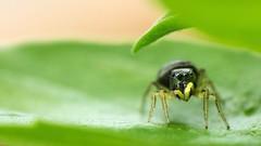 saltique (G.NioncelPhotographie) Tags: araigne spider saltique macro proxy nature bokeh