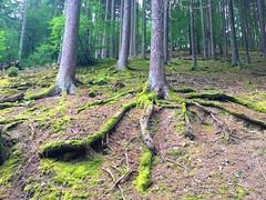 Wurzeln von einem Baum (10.000 Schritte) Tags: baum bume wald wurzeln erde natur pflanzen moos wandern weg pfad baumstamm katzenelnbogen jammertal