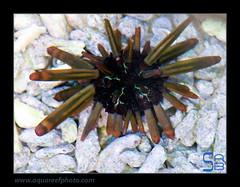AMB4007-62heterocentrotus-mammilatus0558_170214 (kactusficus) Tags: reef aquarium trade marine heterocentrotus mammilatus slate pencil urchin oursin crayon echinoderme echinoderm echinometridae