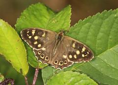 Butterfly - Speckled Wood (Prank F) Tags: titchmarshlnr wildlifetrust northantsuk wildlife nature insect macro closeup butterfly speckled wood