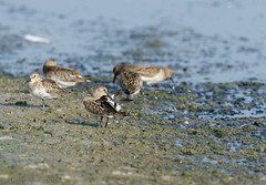 Becasseau variable-Calidris alpina - Dunlin 3155.jpg (Zoizeaux de Gabriel) Tags: alentejo bcasseauvariable calidrisalpina dunlin lagoasdesantoandr portugal