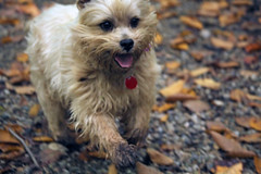 Jeter - 9/24/16 (myvreni) Tags: vermont autumn fall animals dogs cairnterriers pets