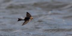 Fairy Martin (Hirundo ariel) (Doublebar) Tags: abirdsaustralia a australianbirds martin360fairy