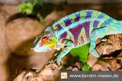 Chameleon (Kerstin Niesen) Tags: terraristik tiere interzoo2014 tieraufnahme natur chameleon bunt augen holz grn retiles reptiel echse terrarium