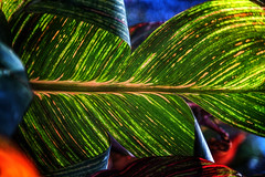 Quer (Chrisnaton) Tags: leaf colorsofnature green photosynthesis nature greenwaves
