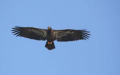 """Flight"" - Juvenile bald eagle - Staten Island, New York (superpugger) Tags: statenislandbaldeagles bald eagles baldeagles newyorkcitywildlife lawrencepugliares lpugliares"