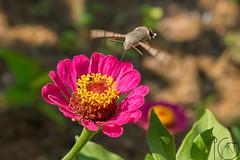 Macro (pg_art) Tags: macro insect insects closeup wildlife bugs macroworld dreams flying ngc d750