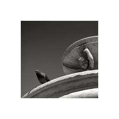 The observer (GP Camera) Tags: nikond80 nikonafsdx1855mmf3556gvr pigeon piccione fountain fontana sky cielo stone pietra light luce shadows ombre lightandshadows lucieombre lighteffects effettidiluce shades sfumature textures trame curves curve monochrome monocromo bw biancoenero white bianco grey grigio black nero vignetting allaperto winter estate squareformat formatoquadrato frame cornice italy italia marche darktable gimp digitalprocessing elaborazionedigitale