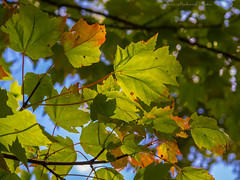 First Signs of Autumn_15043 (Explored Sept. 17, 2016) (smack53) Tags: smack53 leaves autumn summer summertime fallcolors foliage green branches outside outdoors westmilford newjersey canon powershot g12 canonpowershotg12