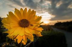 Sptsommerabend (rwfoto_de) Tags: pentaxda15hdltd blte blume gelb flower yellow abend sonne sonnenuntergang sun evening sunset fliege fly wolken cloud