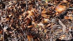 Xanthorrhoea johnsonii detritus (John Tann) Tags: muluerindie warrabahnationalpark nsw australia september 2016 geo:country=australia grasstree xanthorrhoeajohnsonii xanthorrhoeaceae xanthorrhoea johnsonii taxonomy:family=xanthorrhoeaceae taxonomy:binomial=xanthorrhoeajohnsonii