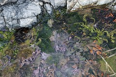 Water Garden (David Badke) Tags: oakbay bc seashore seaweed plant