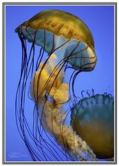 Jelly Fish (bdunn1998) Tags: animal jellyfish acquarium fish water sea