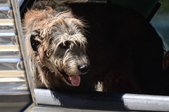 Dogs Riding in Vehicles (Vegan Butterfly) Tags: animal dog canine vehicle car ride riding cute adorable fur furry irish wolfhound