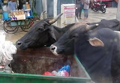 Two buffalo eating out of a bin (Badly Drawn Dad) Tags: geo:lat=2716210288 geo:lon=7803852793 geotagged ind india uttarpradesh agra bubalusbubalis domesticasianwaterbuffalo rubbish skip