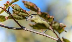 Philadelphia Vireo (Summerside90) Tags: birds birdwatcher philadelphiavireo september fallmigration backyard garden nature wildlife ontario canada