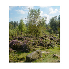 Black Rocks Moor (m_graf67) Tags: blackrocks wirksworth cromford derbyshire landscape uk moor plantation nature green heather trees
