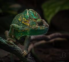 My name is Rango! (JanBures_com) Tags: ngc chameleon yemen chameleons green wild reptile animal animals