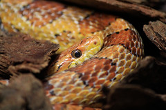 I See You (flutterbye216) Tags: eye florida reptile snake elite scales canoneos60d blinkagain flutterbye216 challengeclubchampion