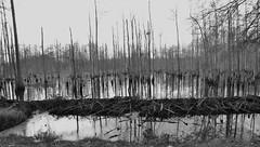 Beaver Dam (Gerry Dincher) Tags: cumberlandcounty northcarolina beaver beaverpond wetland swamp johnmcmillanroad councilroad greenspringsroad mcmillan greensprings robesoncounty gerrydincher coldcampcreek