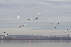Hains Point Flock 4 (Tony DeFilippo) Tags: seagulls southwest birds dcist sw potomacriver birdinflight hainspoint nikond600 nikon10525ais
