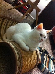 spoon will not be undersold. (carbonated) Tags: white cat scratchingpost ghostcat spooner